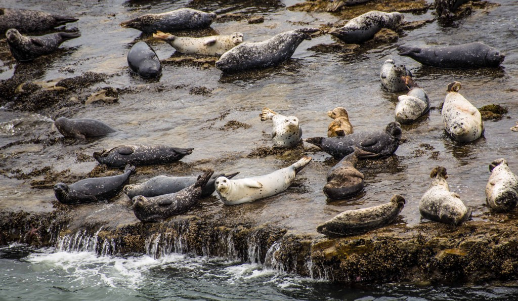 Harbor Seals at Wilder Ranch