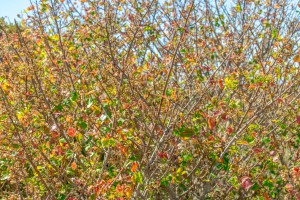 Huge Poison Oak Bush With Berries
